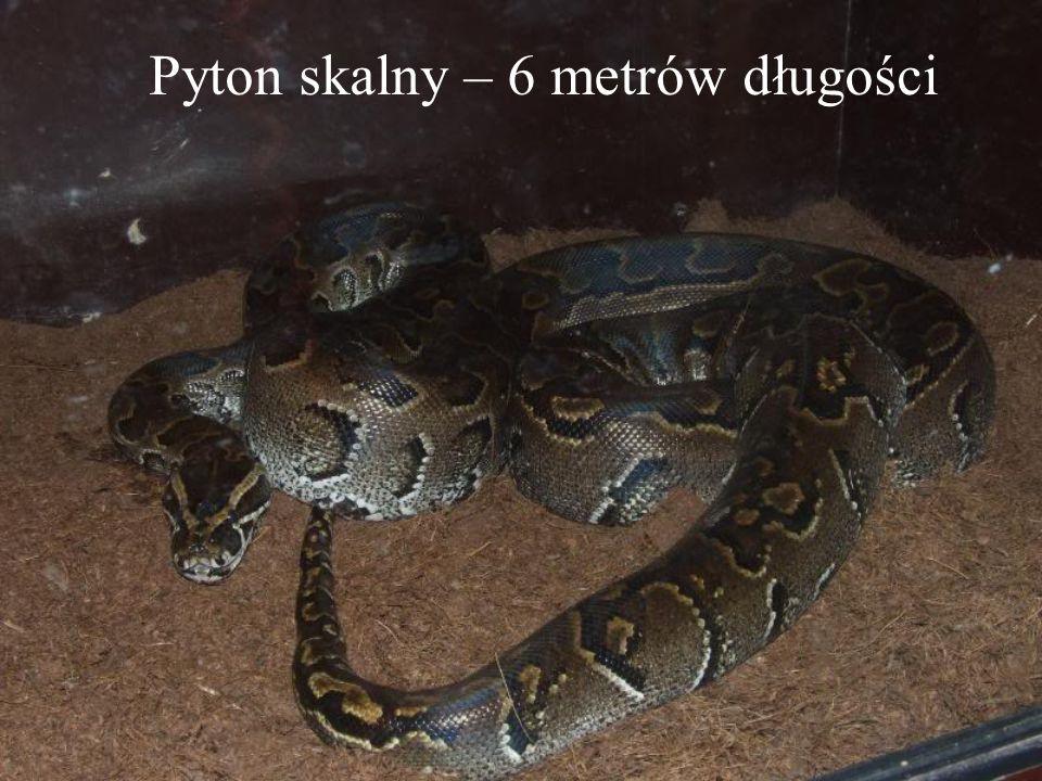 Pyton skalny – 6 metrów długości