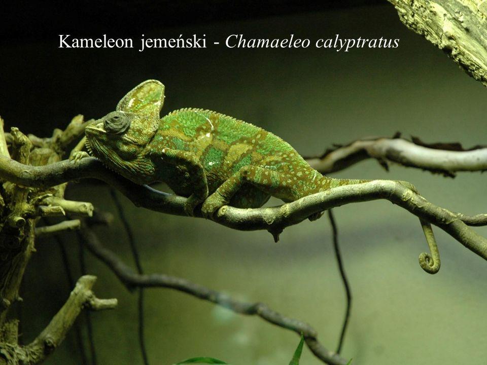 Kameleon jemeński - Chamaeleo calyptratus