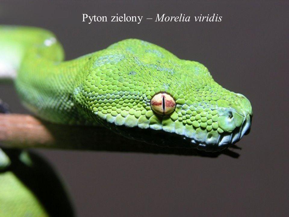 Pyton zielony – Morelia viridis
