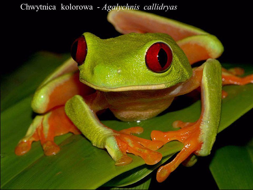 Chwytnica kolorowa - Agalychnis callidryas