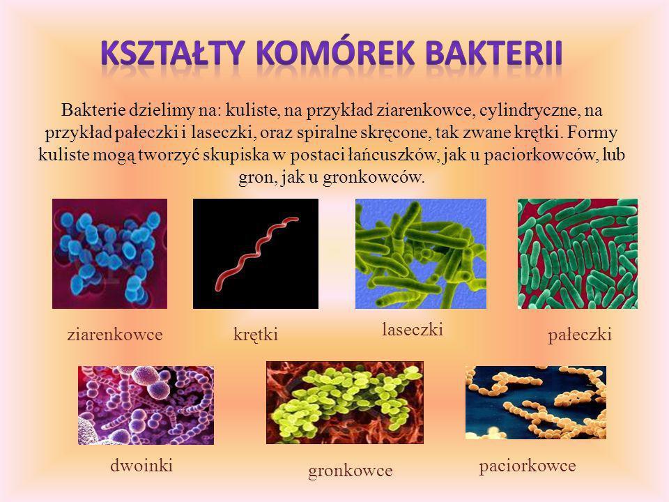 Bakterie dzielimy na: kuliste, na przykład ziarenkowce, cylindryczne, na przykład pałeczki i laseczki, oraz spiralne skręcone, tak zwane krętki.