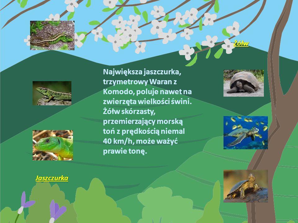 Węże, takie jak pytony i anakondy, osiągają podobną długość, ale są znacznie smuklejsze. Największy wąż jadowity, kobra królewska z tropikalnych regio
