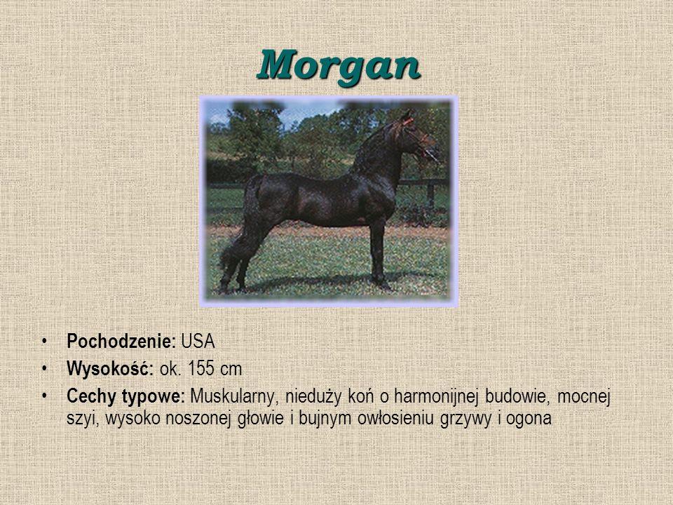 Morgan Pochodzenie: USA Wysokość: ok.