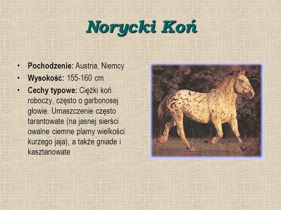 Norycki Koń Pochodzenie: Austria, Niemcy Wysokość: 155-160 cm Cechy typowe: Ciężki koń roboczy, często o garbonosej głowie.