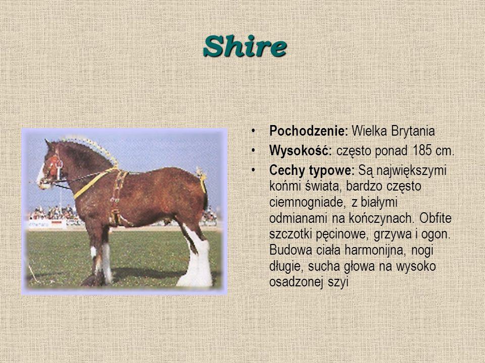 Shire Pochodzenie: Wielka Brytania Wysokość: często ponad 185 cm.