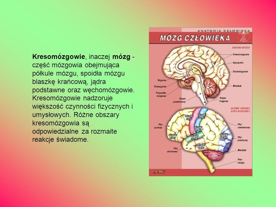 Kresomózgowie, inaczej mózg - część mózgowia obejmująca półkule mózgu, spoidła mózgu blaszkę krańcową, jądra podstawne oraz węchomózgowie. Kresomózgow