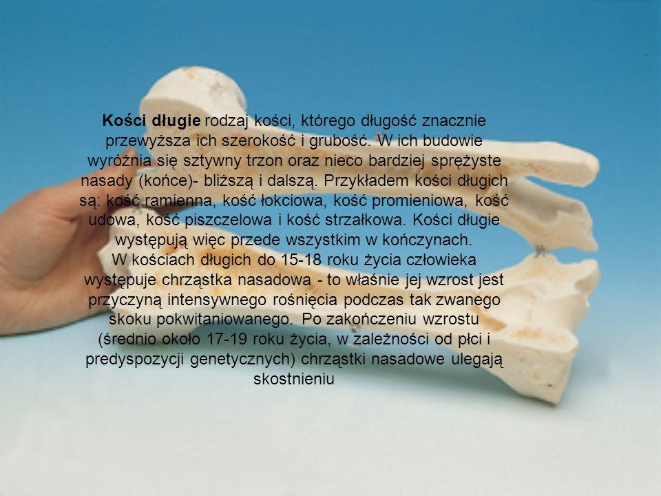 Kości długie rodzaj kości, którego długość znacznie przewyższa ich szerokość i grubość. W ich budowie wyróżnia się sztywny trzon oraz nieco bardziej s