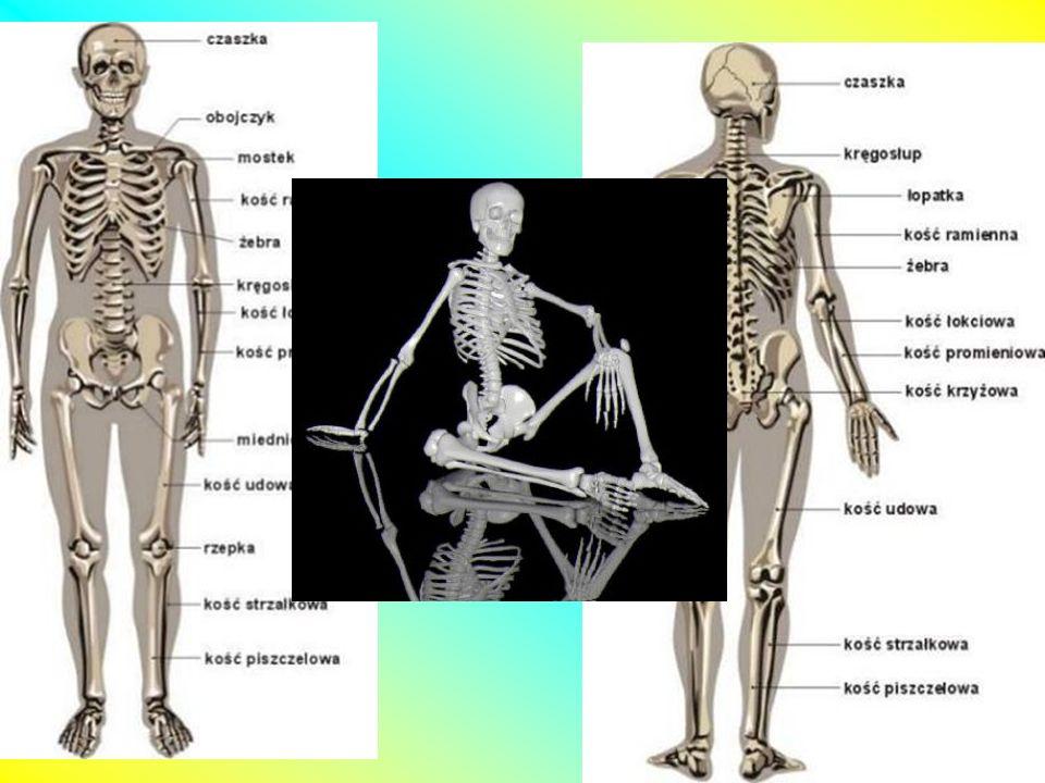 Kości długie rodzaj kości, którego długość znacznie przewyższa ich szerokość i grubość.