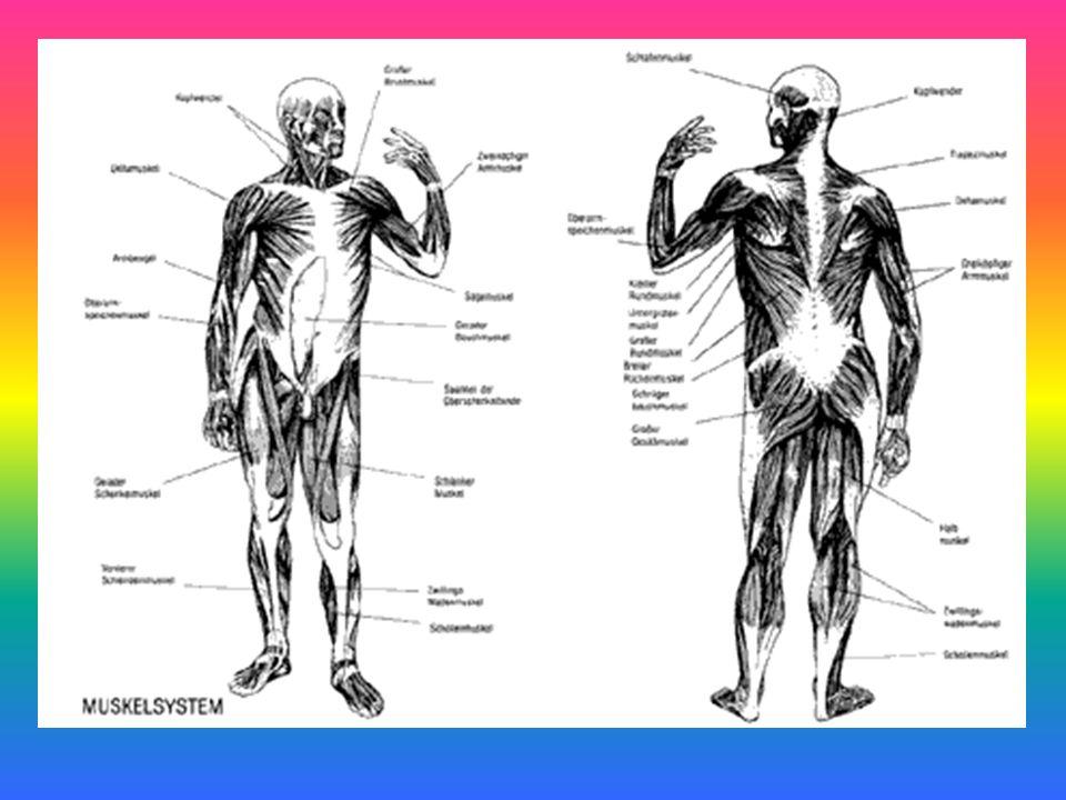 Mięsień to jeden z elementów narządu ruchu stanowiący jego element czynny u organizmów żywych rzędów wyższych.