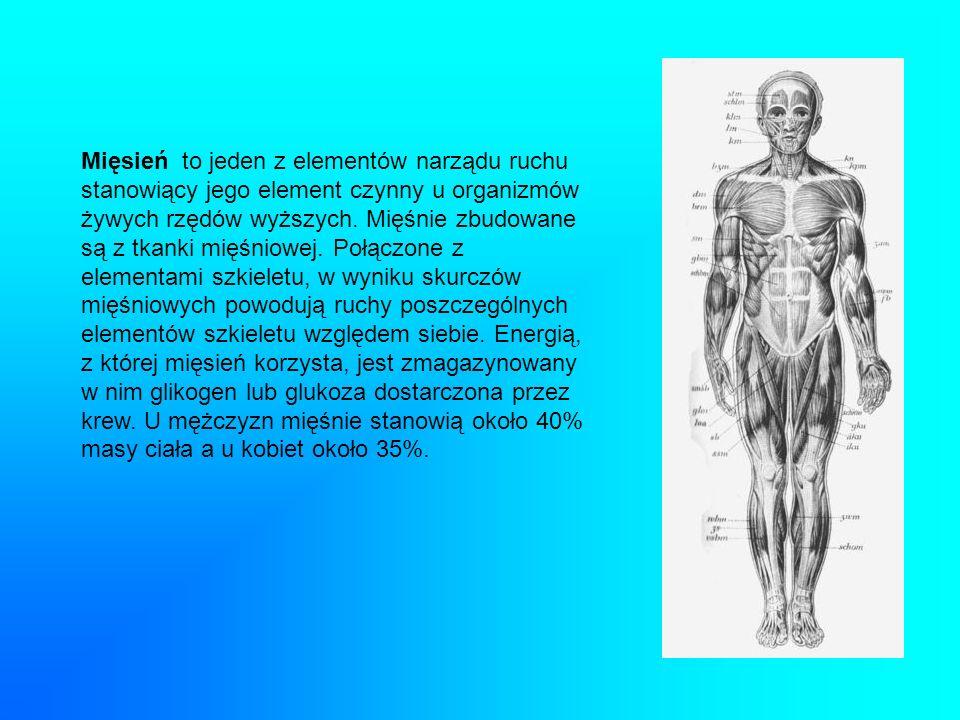 Mięsień to jeden z elementów narządu ruchu stanowiący jego element czynny u organizmów żywych rzędów wyższych. Mięśnie zbudowane są z tkanki mięśniowe