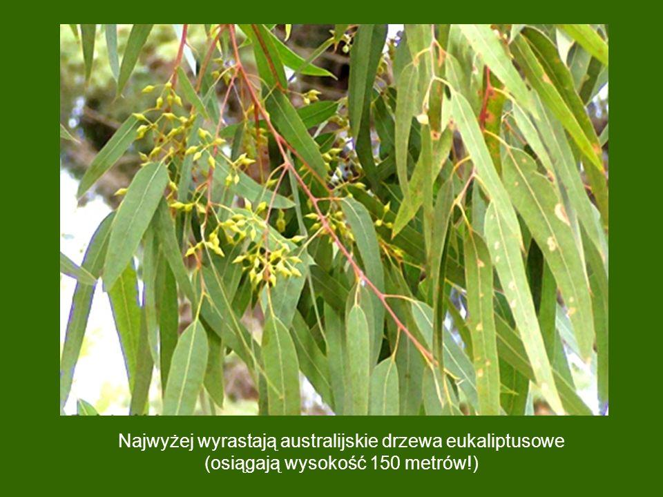 Najwyżej wyrastają australijskie drzewa eukaliptusowe (osiągają wysokość 150 metrów!)