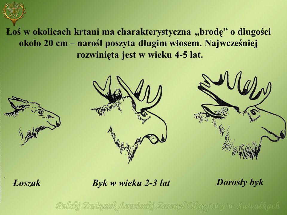 Dorosły byk ŁoszakByk w wieku 2-3 lat Łoś w okolicach krtani ma charakterystyczna brodę o długości około 20 cm – narośl poszyta długim włosem. Najwcze