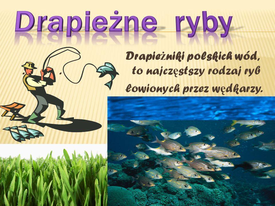 Drapie ż niki polskich wód,.. to najcz ę stszy rodzaj ryb łowionych przez w ę dkarzy.