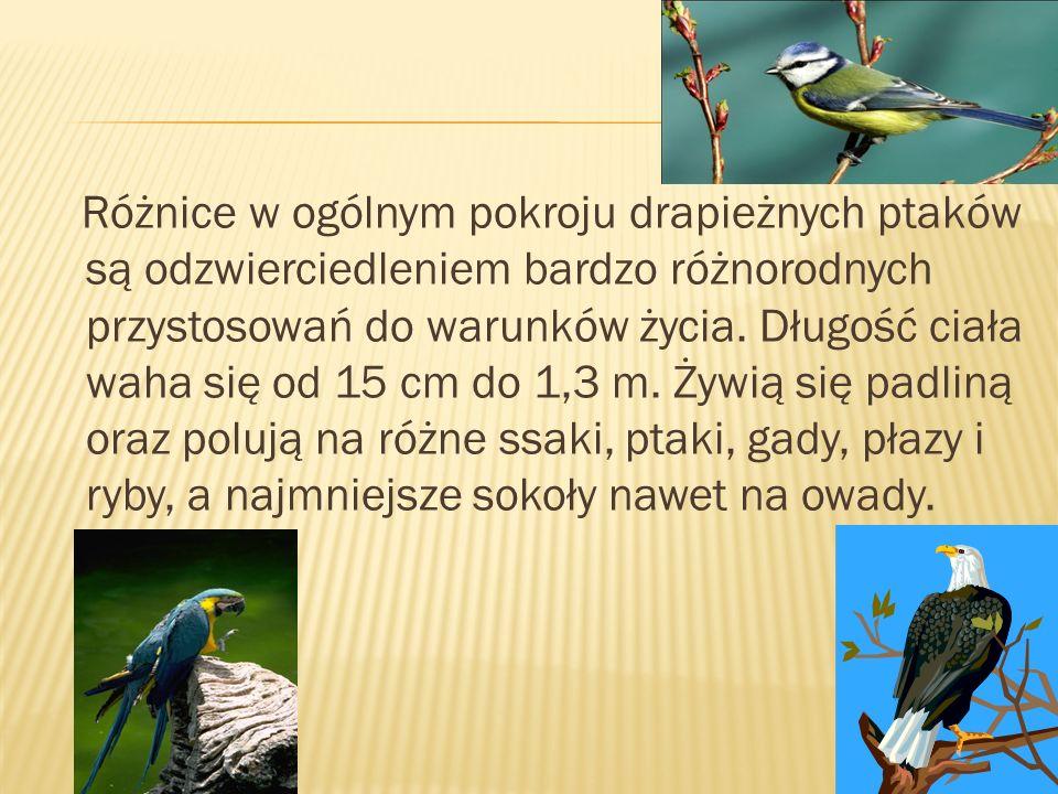 Różnice w ogólnym pokroju drapieżnych ptaków są odzwierciedleniem bardzo różnorodnych przystosowań do warunków życia. Długość ciała waha się od 15 cm