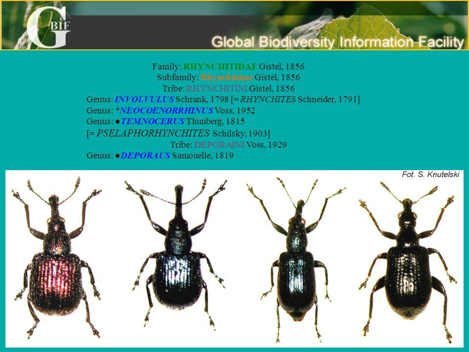 Family: RHYNCHITIDAE Gistel, 1856 Subfamily: Rhynchitinae Gistel, 1856 Tribe: RHYNCHITINI Gistel, 1856 Genus: INVOLVULUS Schrank, 1798 [= RHYNCHITES S