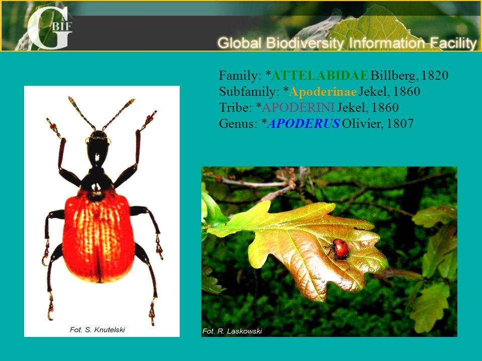 Family: *ATTELABIDAE Billberg, 1820 Subfamily: *Apoderinae Jekel, 1860 Tribe: *APODERINI Jekel, 1860 Genus: *APODERUS Olivier, 1807