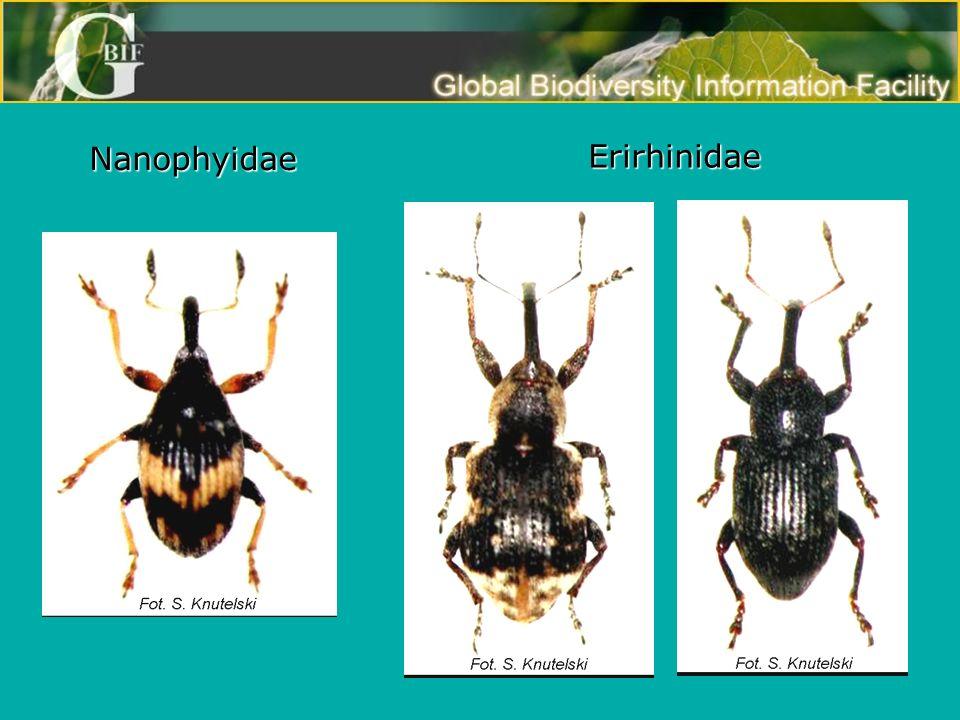 Nanophyidae Erirhinidae