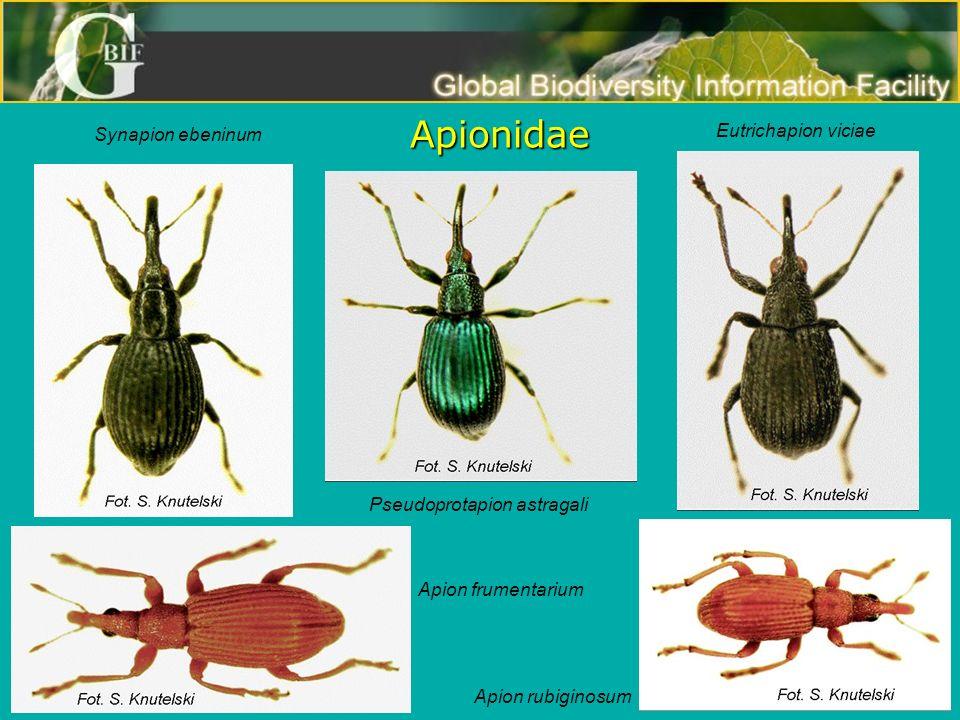 Apionidae Synapion ebeninum Pseudoprotapion astragali Eutrichapion viciae Apion rubiginosum Apion frumentarium
