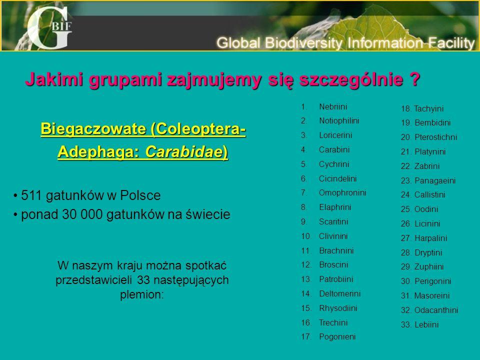 Biegaczowate (Coleoptera- Adephaga: Carabidae) 511 gatunków w Polsce ponad 30 000 gatunków na świecie W naszym kraju można spotkać przedstawicieli 33