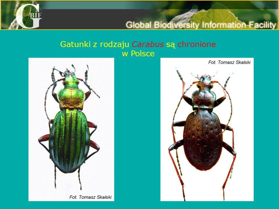 Gatunki z rodzaju Carabus są chronione w Polsce