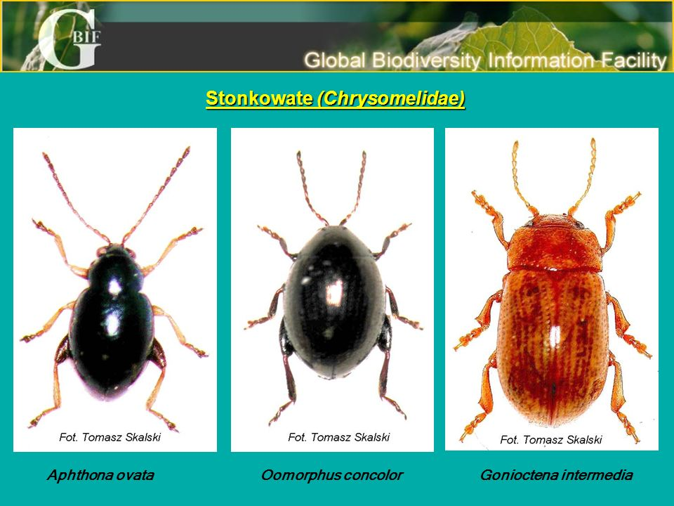 Coleoptera-Polyphaga: Curculionoidea Nemonychidae Nemonychidae Rhynchitidae Rhynchitidae Attelabidae Attelabidae Nanophyidae Nanophyidae Erirhinidae Erirhinidae Apionidae Apionidae Curculionidae Curculionidae Classification about Alonso-Zarazaga and Lyal (1999) Polska – 1 054 gatunki Świat – ponad 60 000 gatunków