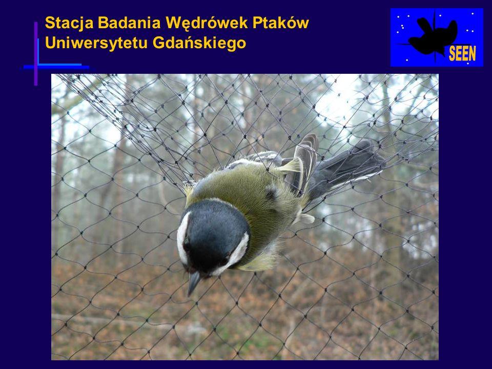 Stacja Badania Wędrówek Ptaków Uniwersytetu Gdańskiego Nie ma na świecie drugiej tak obszernej i jednocześnie wyrafinowanej bazy danych dotyczącej biometrii zwierząt