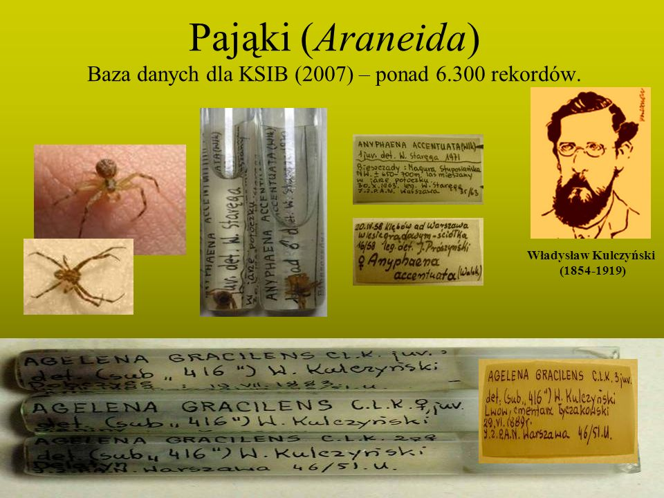 Pająki (Araneida) Baza danych dla KSIB (2007) – ponad 6.300 rekordów. Władysław Kulczyński (1854-1919)