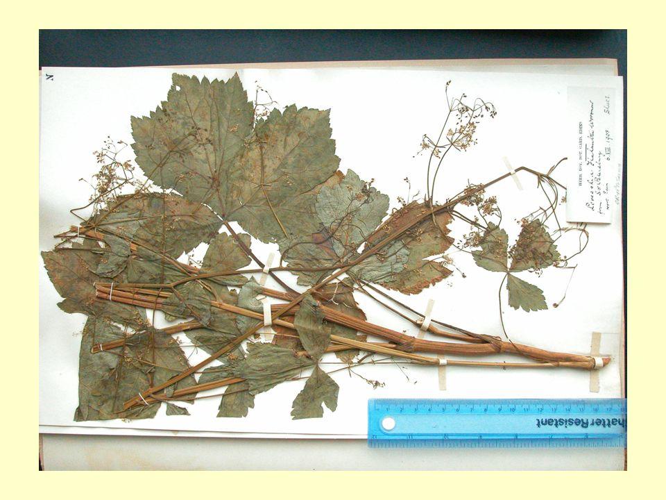 Udostępnianie zbiorów Dotychczas głównymi klientami zielnika byli taksonomowie roślin oraz floryści.