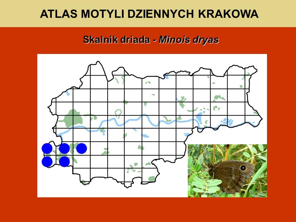 ATLAS MOTYLI DZIENNYCH KRAKOWA Skalnik driada - Minois dryas foto. K. Walasz