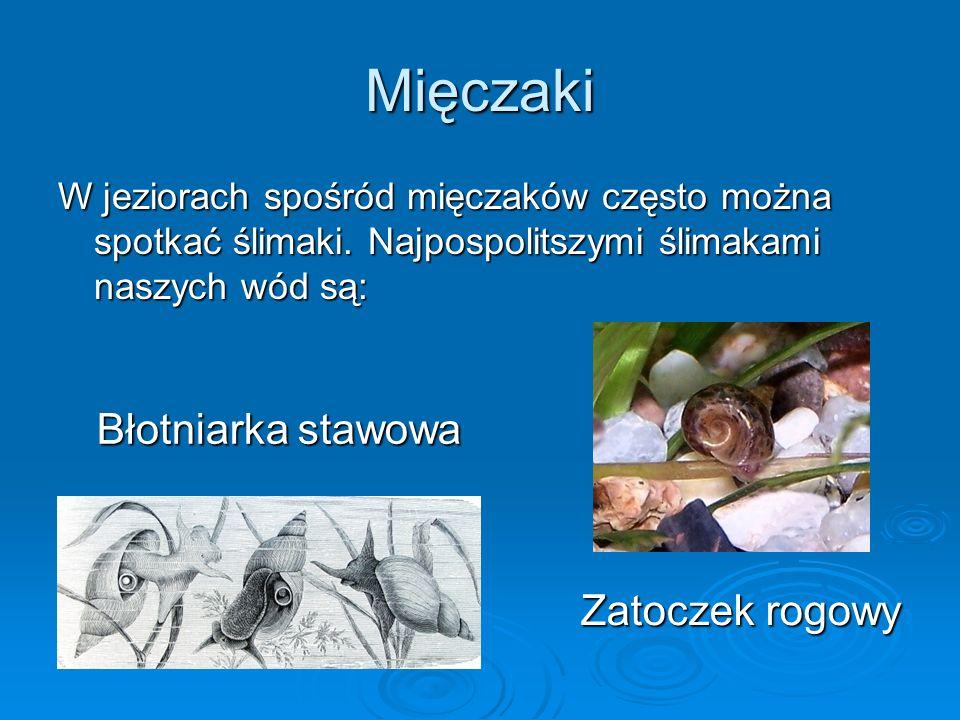 Mięczaki W jeziorach spośród mięczaków często można spotkać ślimaki.