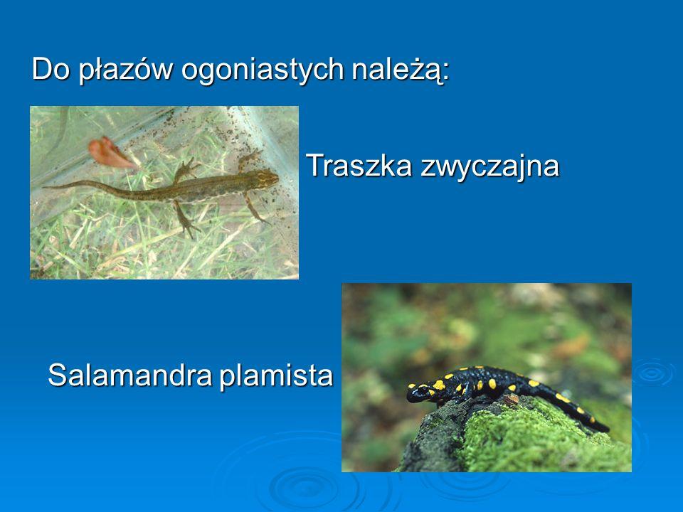 Do płazów ogoniastych należą: Traszka zwyczajna Salamandra plamista