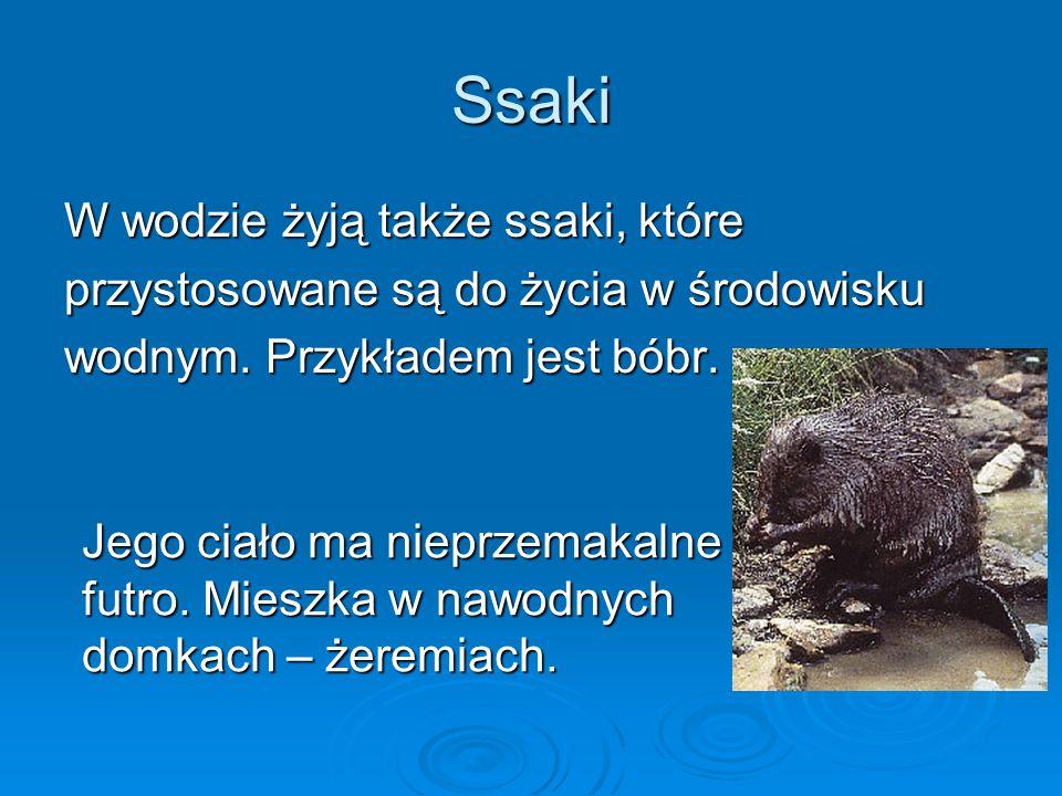 Ssaki W wodzie żyją także ssaki, które przystosowane są do życia w środowisku wodnym.