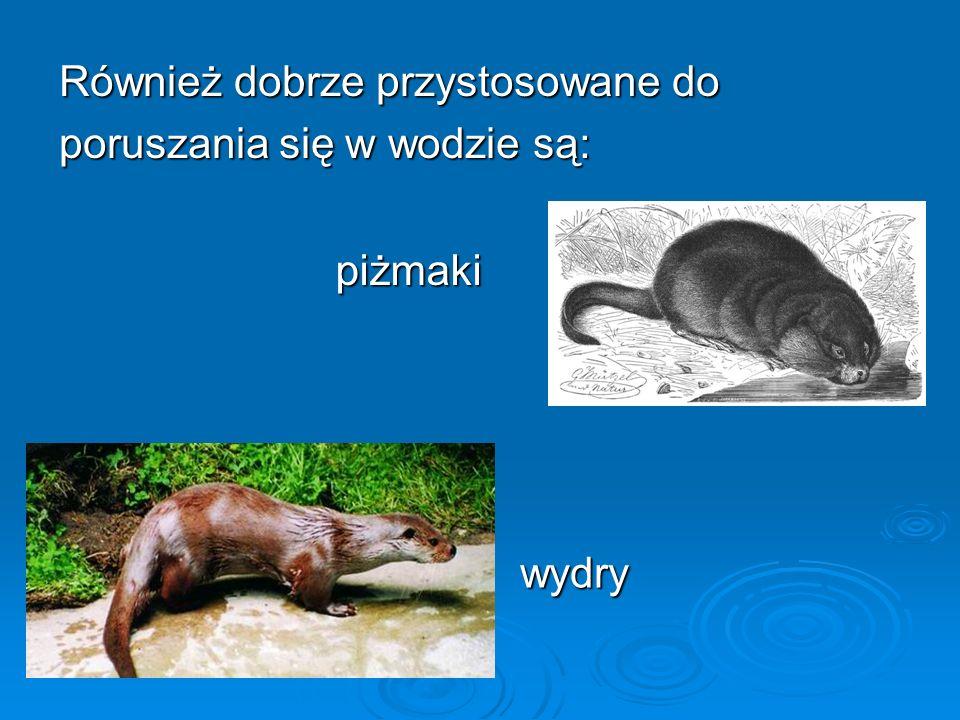 Również dobrze przystosowane do poruszania się w wodzie są: piżmaki piżmaki wydry
