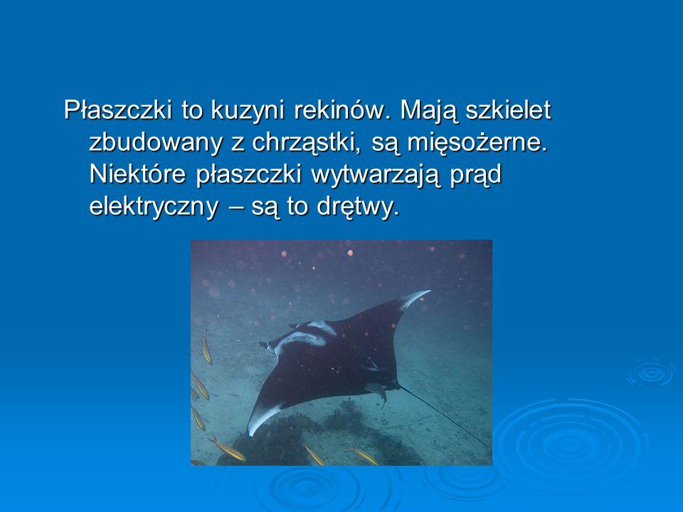Płaszczki to kuzyni rekinów.Mają szkielet zbudowany z chrząstki, są mięsożerne.