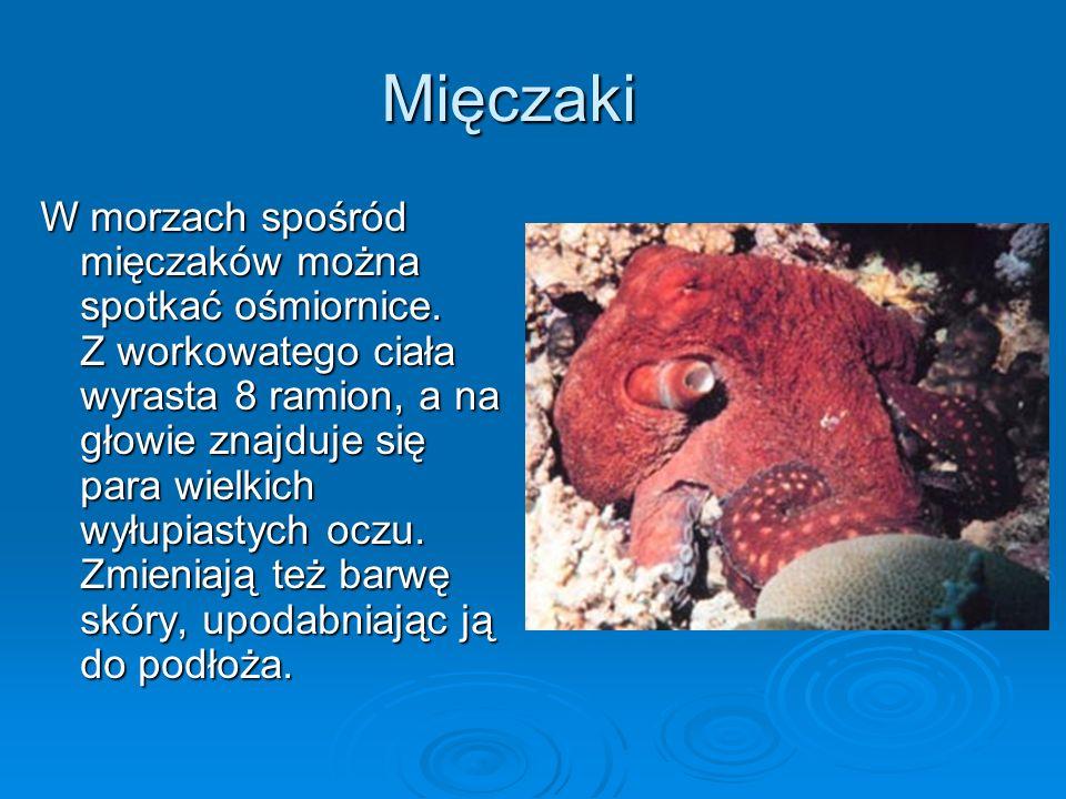 Mięczaki W morzach spośród mięczaków można spotkać ośmiornice.