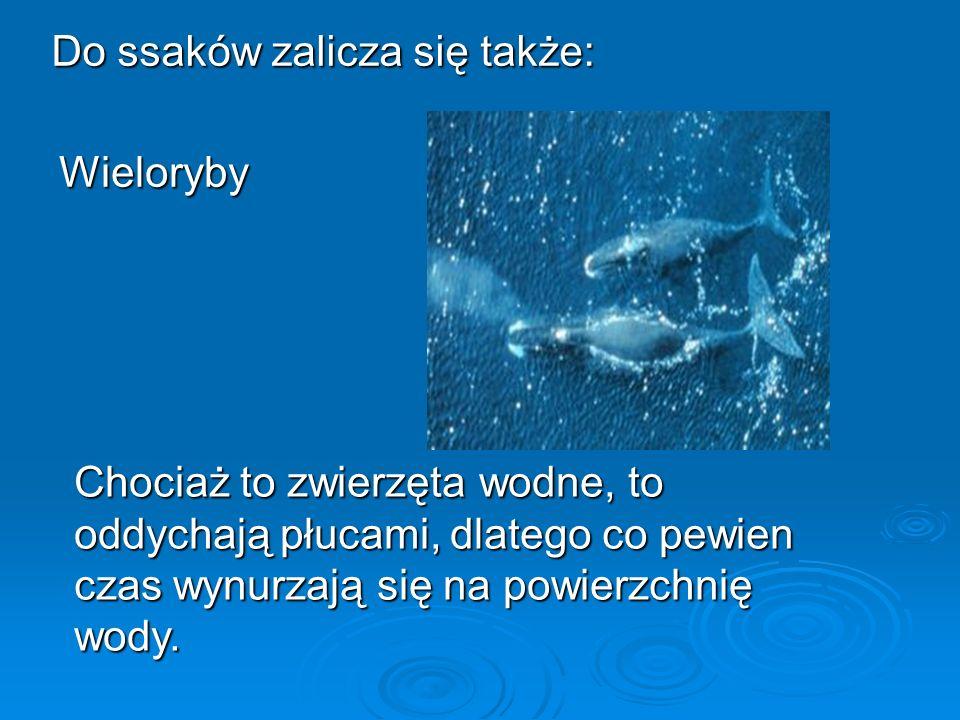 Do ssaków zalicza się także: Wieloryby Chociaż to zwierzęta wodne, to oddychają płucami, dlatego co pewien czas wynurzają się na powierzchnię wody.