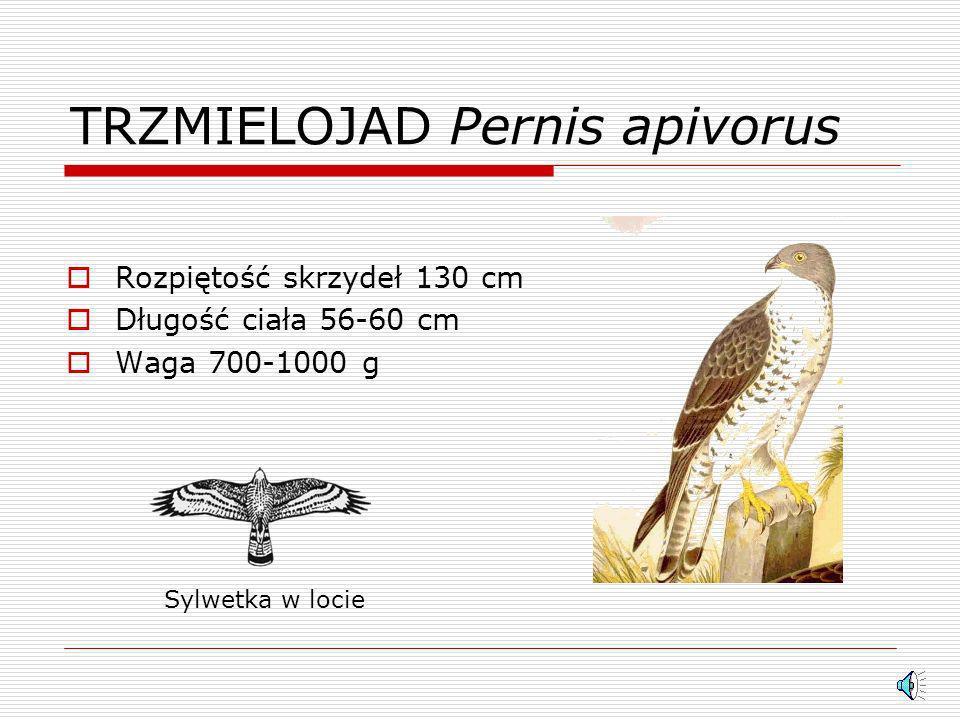 BŁOTNIAK STAWOWY Circus aeruginosus Rozpiętość skrzydeł 140 cm Długość ciała 50 cm Waga 500-700 g Sylwetka w locie