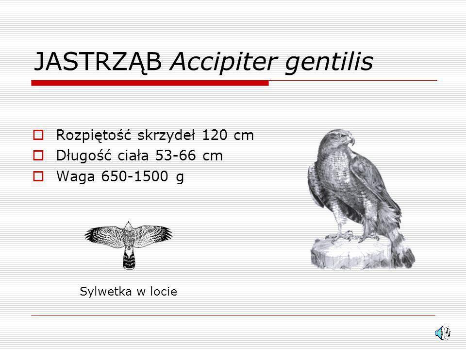 TRZMIELOJAD Pernis apivorus Rozpiętość skrzydeł 130 cm Długość ciała 56-60 cm Waga 700-1000 g Sylwetka w locie
