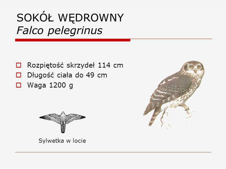 KROGULEC Accipiter nisus Rozpiętość skrzydeł 63 cm Długość ciała 30-33 cm Waga 150 g Sylwetka w locie