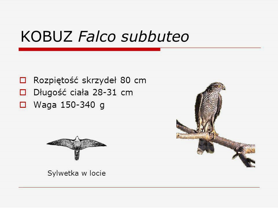 SOKÓŁ WĘDROWNY Falco pelegrinus Rozpiętość skrzydeł 114 cm Długość ciała do 49 cm Waga 1200 g Sylwetka w locie