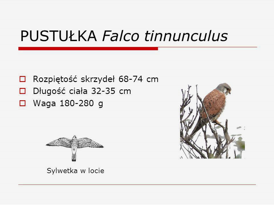 KOBUZ Falco subbuteo Rozpiętość skrzydeł 80 cm Długość ciała 28-31 cm Waga 150-340 g Sylwetka w locie
