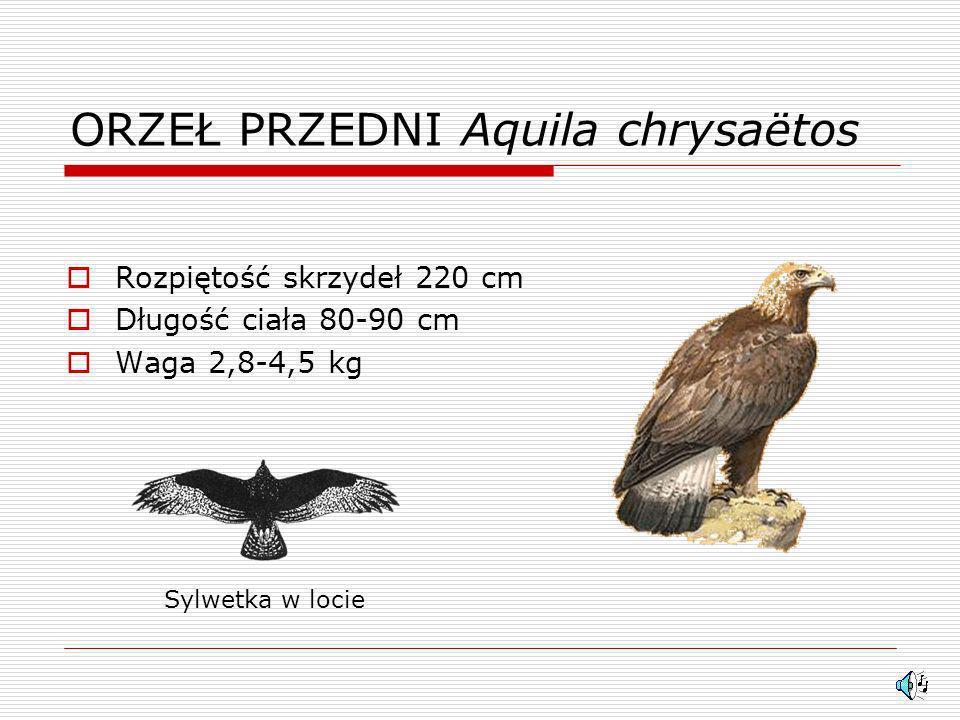 ORZEŁ PRZEDNI Aquila chrysaëtos Rozpiętość skrzydeł 220 cm Długość ciała 80-90 cm Waga 2,8-4,5 kg Sylwetka w locie