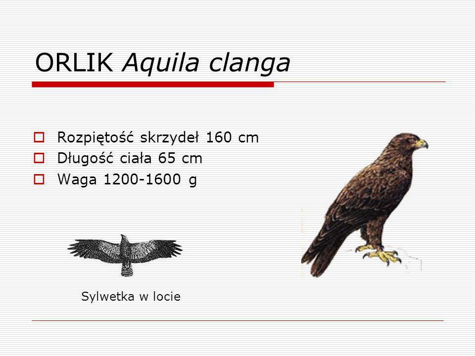 ORLIK Aquila clanga Rozpiętość skrzydeł 160 cm Długość ciała 65 cm Waga 1200-1600 g Sylwetka w locie