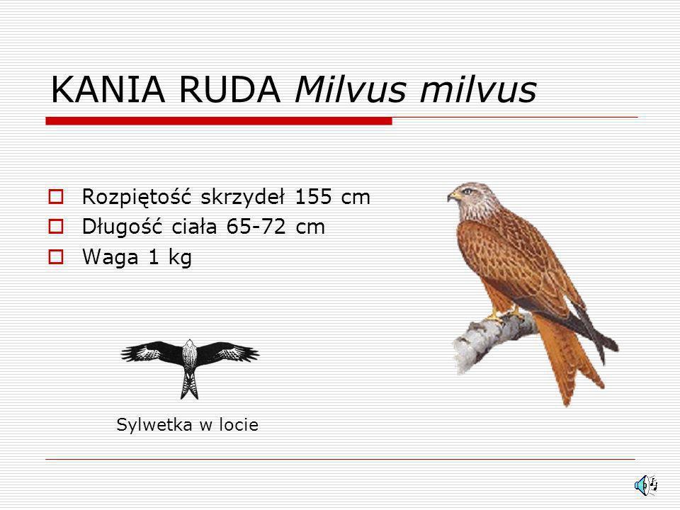 KANIA RUDA Milvus milvus Rozpiętość skrzydeł 155 cm Długość ciała 65-72 cm Waga 1 kg Sylwetka w locie