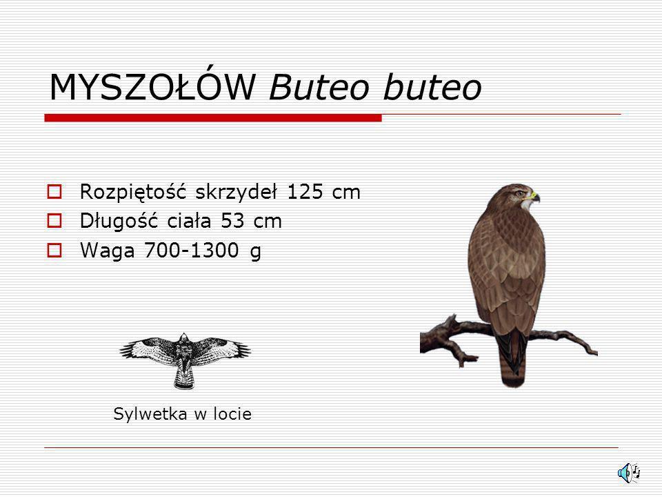 MYSZOŁÓW Buteo buteo Rozpiętość skrzydeł 125 cm Długość ciała 53 cm Waga 700-1300 g Sylwetka w locie