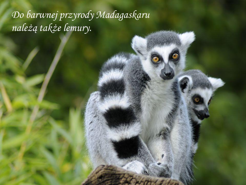 Do barwnej przyrody Madagaskaru należą także lemury.