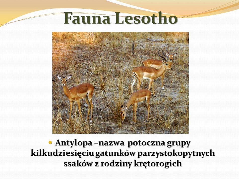 Fauna Lesotho Antylopa –nazwa potoczna grupy kilkudziesięciu gatunków parzystokopytnych ssaków z rodziny krętorogich Antylopa –nazwa potoczna grupy ki
