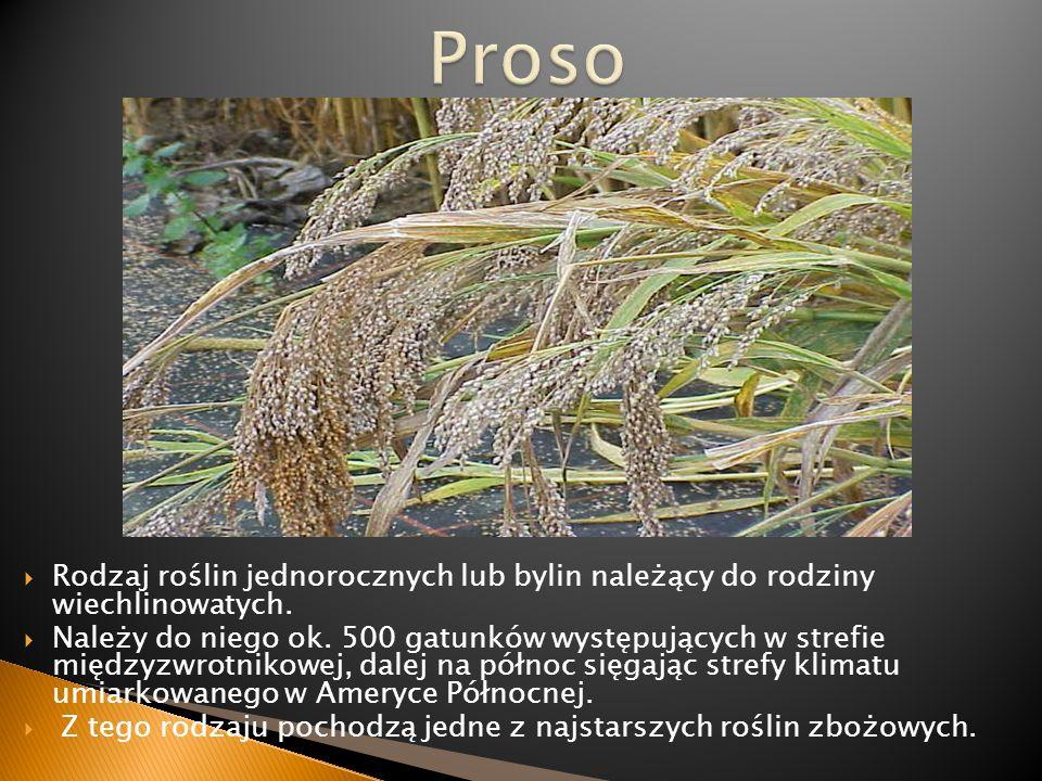 Rodzaj roślin jednorocznych lub bylin należący do rodziny wiechlinowatych. Należy do niego ok. 500 gatunków występujących w strefie międzyzwrotnikowej