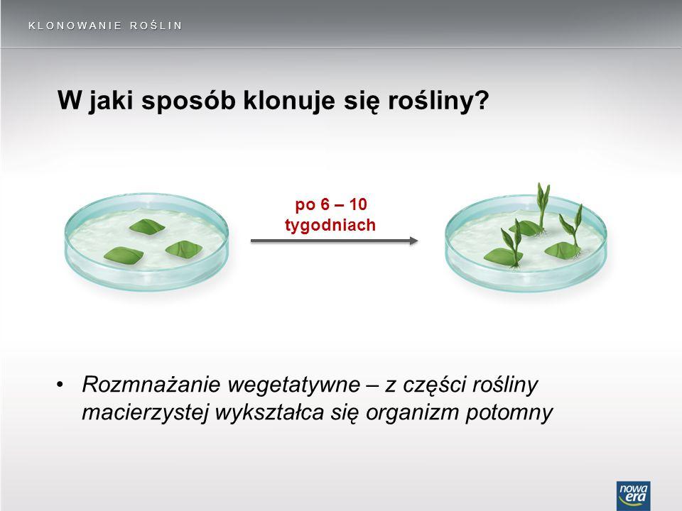 W jaki sposób klonuje się rośliny? KLONOWANIE ROŚLIN po 6 – 10 tygodniach Rozmnażanie wegetatywne – z części rośliny macierzystej wykształca się organ