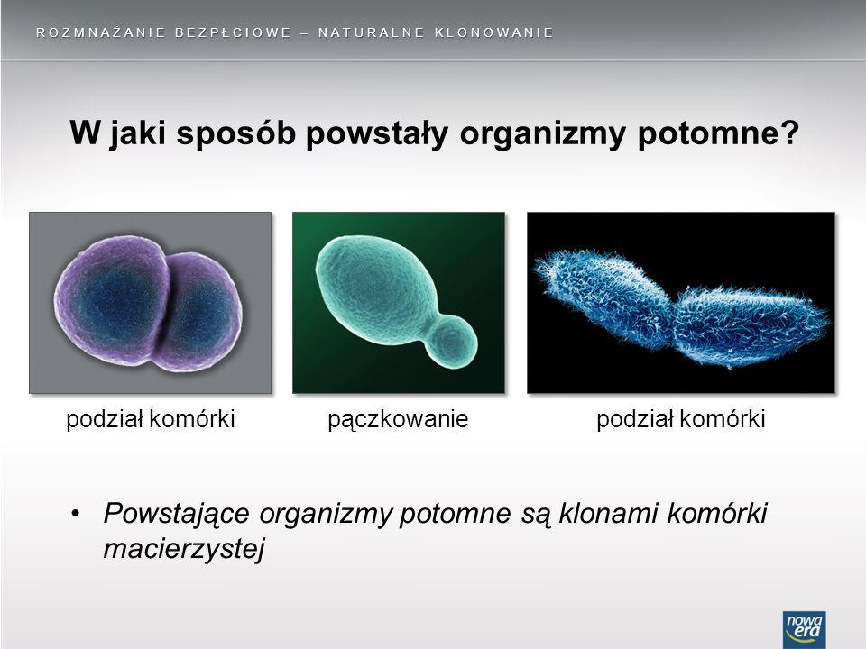 W jaki sposób powstały organizmy potomne? ROZMNAŻANIE BEZPŁCIOWE – NATURALNE KLONOWANIE podział komórkipączkowaniepodział komórki Powstające organizmy